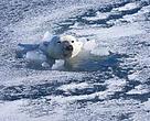 Isbjørnen har brug for din støtte - støt på www.arctichome.dk