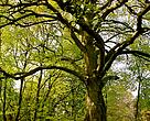 Mere dansk skov skal lades i fred. Det er godt for biodiversiteten