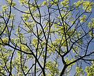 WWF Verdensnaturfonden har fremsendt ni anbefalinger til regeringens Naturpakke. Bl.a. foreslår WWF udpegning af minimum 75.000 ha. naturskov i de danske skove.