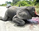 Afrikansk elefant - offer for krybskytteri (Virunga National Park i DR Congo).
