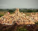 Kenya vil afbrænde 105 tons elfenben - den største mængde konfiskerede stødtænder, der nogensinde er blevet destrueret.