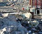 Isbjørne kommer tæt på i Kap Tobin - tæt ved Ittoqqortoormiit