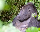 Grauer's gorilla in Kahuzi-Biega National Park in eastern Democratic Republic of Congo (DRC)