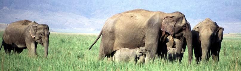 hvor meget vejer en elefant