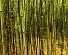 A great variety of bamboo species grow in China and are highly considered for their numerous values. China