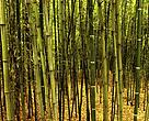 Bambusbevoksning i Kina.