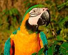 A blue-and-yellow macaw (Ara ararauna), Juruena National Park, Brazil