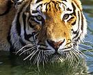 Her på Tigrenes Dag opfordrer WWF Verdensnaturfonden de rigere asiatiske lande Thailand, Malaysia og Indonesien til at få optalt deres tigerbestande.