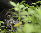 Mountain gorilla (Gorilla beringei beringei) close up of eye, Volcanoes NP, Virunga mountains, Rwanda