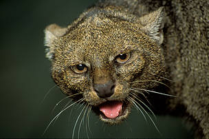 Puma Jaguarundi (Herpailurus yagouaroundi). Intet dansk navn.