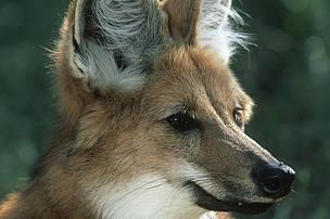 Mankeulv. Maned Wolf (Chrysocyon brachyurus), endangeredDist. South America