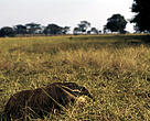Myrmecophaga tridactyla Giant anteater Mato Grosso, Brazil