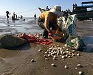 Kvinde fra kooperativet sorterer muslinger, så bæredygtig høst sikres. Strand i Ben Tre provinsen i Mekong Deltaet.