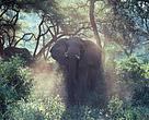 Afrikansk elefant i nationalpark i Tanzania