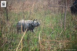 truede næsehorn