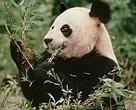 Kæmpepanda, der spiser bambus, Sichuan-provinsen i Kina.
