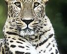Russisk løftebrud truer nu genindførelsen af den persiske leopard