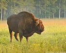 Europæisk bison i Bialowieza Nationalpark