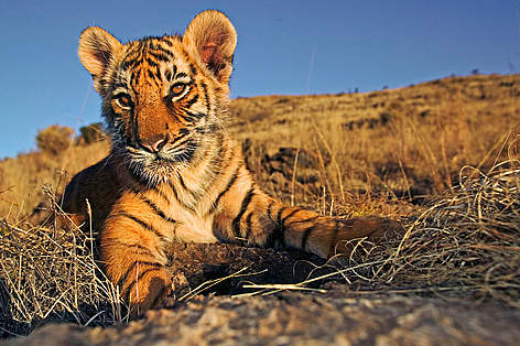 Tiger Indien Dyr / &copy;: Martin Harvey / WWF-Canon