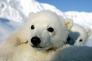 Isbjørn Arktis Dyr Norge Svalbard