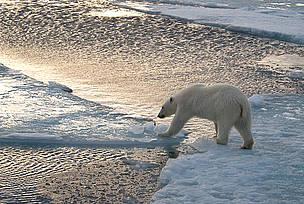 Isbjørn Dyr Klima Arktis