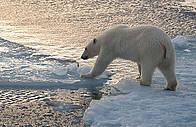 Isbjørn Dyr Klima Arktis  / ©: Steve Morelle / WWF
