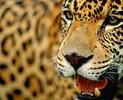 Brasilien Dyr Jaguar