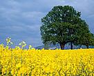 Raps Bioenergi Biodiesel Energi Klima