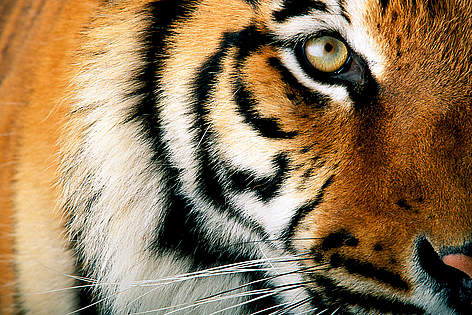 Tiger Dyr / ©: National Geographic Stock/ Michael Nichols / WWF