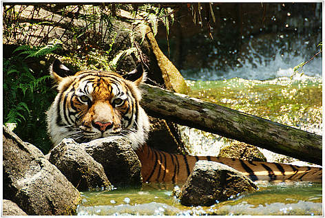 Tiger Dyr Mekong  / ©: Choong Joon LAI / WWF