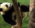 Panda Dyr Kina