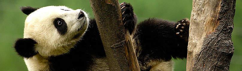 Panda Dyr Kina / ©: naturepl.com /Pete Oxford / WWF