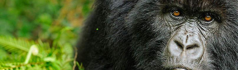 Gorilla Dyr Østafrika / ©: naturepl.com /Andy Rouse / WWF