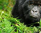 Gorilla Dyr Østafrika