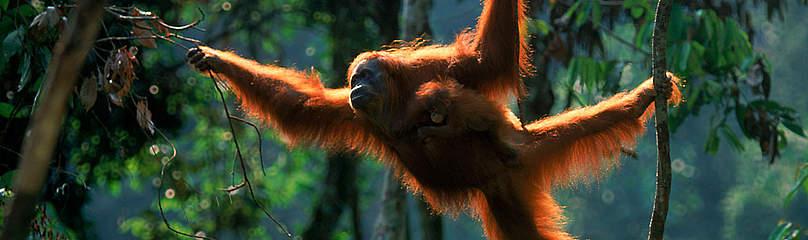 Regnskov Skov Orangutang Dyr Sumatra Indonesien Regnskovspartner Partner / ©: naturepl.com /Anup Shah / WWF