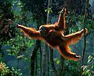 Regnskov Skov Orangutang Dyr Sumatra Indonesien Regnskovspartner Partner