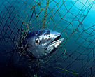 Southern bluefin tuna (Thunnus maccoyii) caught in a tuna pen, Port Lincoln, South Australia.