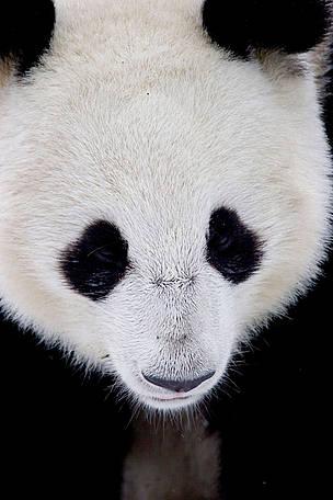Panda Dyr Kina / ©: naturepl.com /Juan Carlos Munoz / WWF
