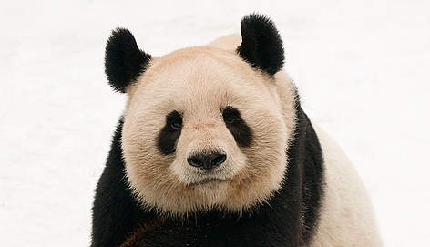 Panda Dyr Kina / &copy;: naturepl.com /Edwin Giesbers / WWF