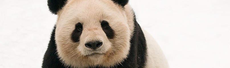 Panda Dyr Kina / ©: naturepl.com /Edwin Giesbers / WWF