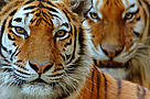 Sibirisk Tiger Dyr