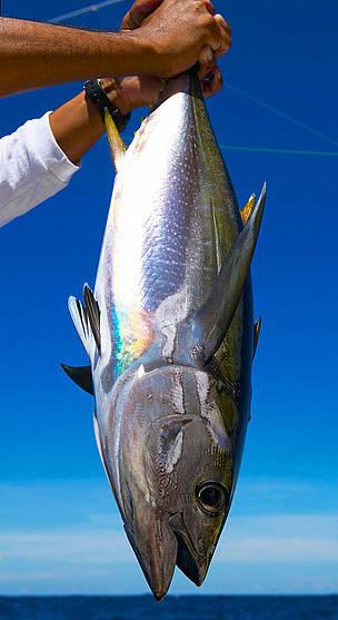 Gulfinnet Tun Fisk Fiskeri Hav Dyr MSC