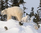 A mother polar bear and two cubs (one cub standing behind the other on top of the snowbank)