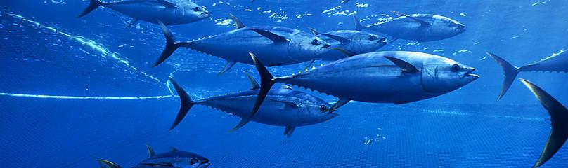 Tun Fisk Hav Fiskeri Dyr MSC / ©: naturepl.com / Doc White / WWF