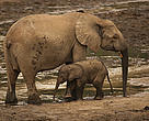 African Forest elephant (Loxodonta africana cyclotis) mother and calf visiting Dzanga Bai to feed on mineral-rich sediments, Dzanga-Ndoki National Park, Central African Republic.