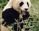 Panda Dyr
