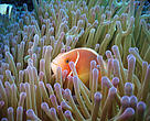 Clown fish swimming in the Great Barrier Reef, Queensland, Australia.