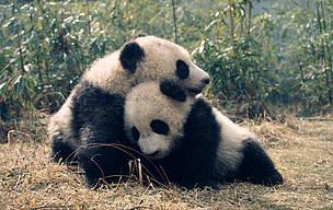 Panda Dyr / ©: © Susan A. Mainka / WWF