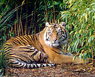 Panthera tigris sumatrae  Sumatran tiger, resting  Sumatra  Indonesia  Project number: ID0091