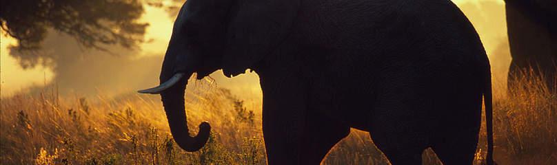 Afrika Elefant Dyr / ©: Martin Harvey / WWF